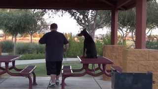 Obedience Training - Doberman - European Doberman Pinscher Raven