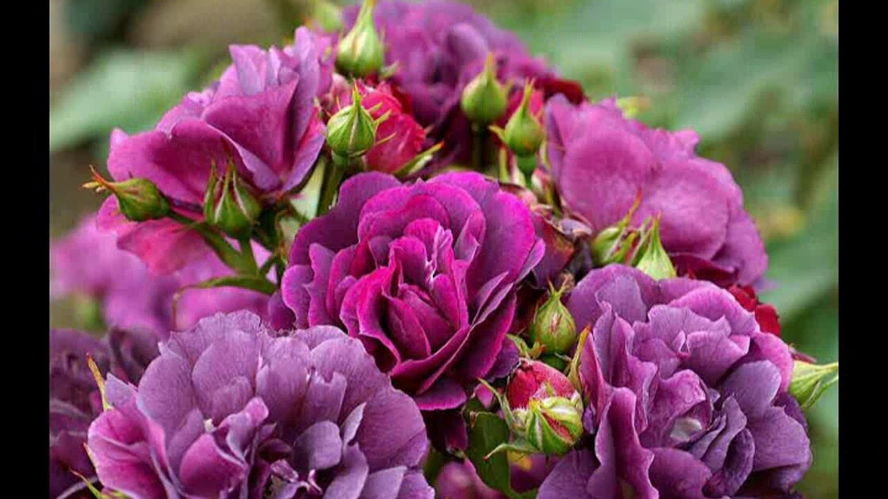 Purple Rose Flower Wallpaper Whatsapp Status Images