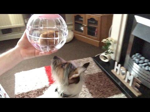 Dog vs Hamster [Vlog #447]