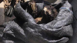 ONG difunde captura de un perezoso para explotación animal
