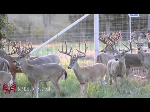 MPR - 2.5 Year Old Breeder Bucks