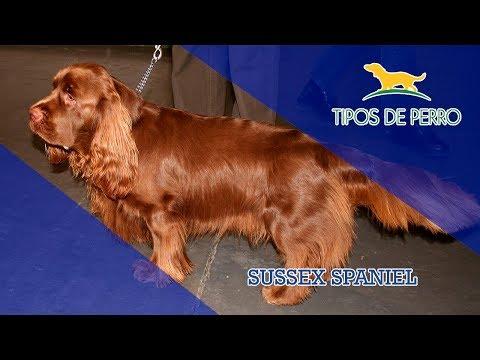 SUSSEX SPANIEL - TIPOS DE PERRO