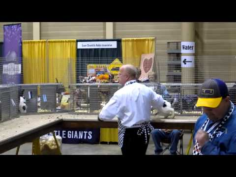 Judging Checkered Giant ARBA 2012