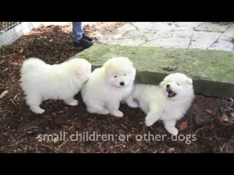 Dogs 101  Pomeranian, Spitz, Samoyed