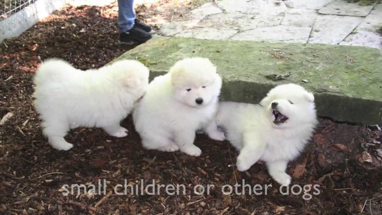 Dogs 101 Pomeranian Spitz Samoyed Youtube