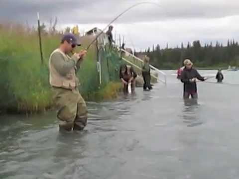 Sockeye salmon kenai river no net youtube for Kenai river fish counts