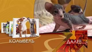 Питомник элитных кошек КОРОЛЕВСТВО ГРЕЗ