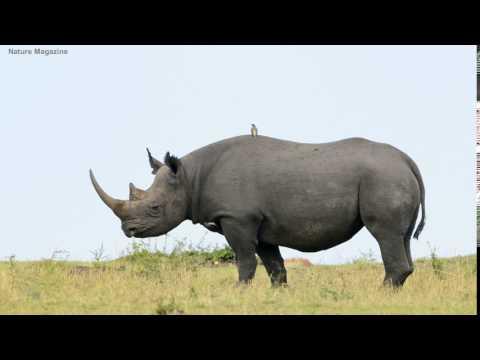 rhinoceros sounds
