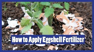 How to Apply Eggshell Fertilizers to Plants | Eggshell Fertilizer for Plants 2016 ( Urdu / Hindi )