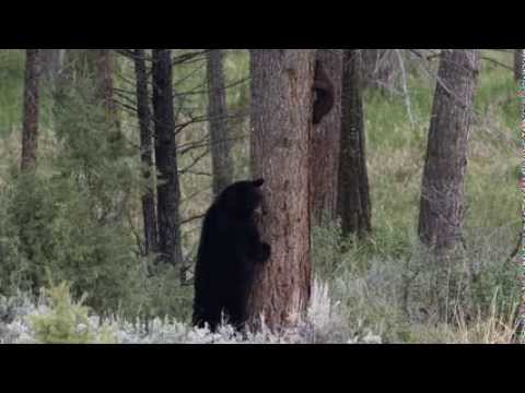 Wildlife Photography - BLACK BEAR with CUBS - Grand Teton National Park / Yellowstone / Jackson Hole