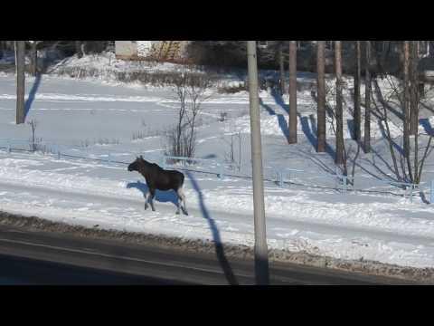 Лось-Животинка на улице города Заречного.