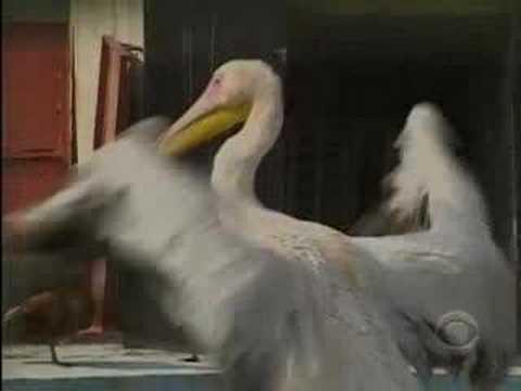 Baghdad Zoo Recovers (CBS News)