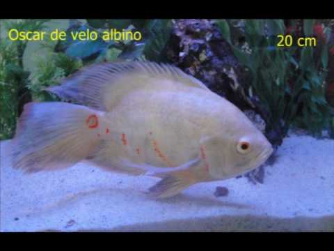 Peces ornamentales doovi for Granja de peces ornamentales