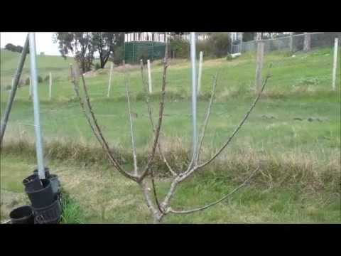 Prune And Train Cherry Tree To Open Vase Shape - Youtube