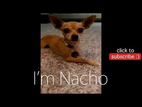 [NachoCam] Chihuahua Crawls Like Baby – Dog Vines 1
