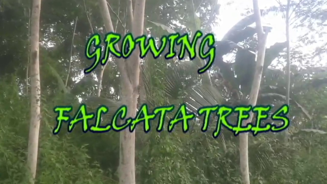 How to plant falcata trees step by step guide in planting tree youtube - Fir tree planting instructions a vigorous garden ...