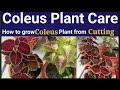 Coleus plant ki care Kaise kare/How to grow Coleus plant from Cutting /Coleus plant Care
