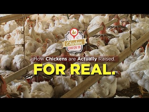 How Chickens Are Actually Raised. For Real.