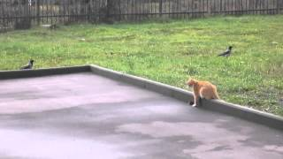 кошка защищает мышку от ворон