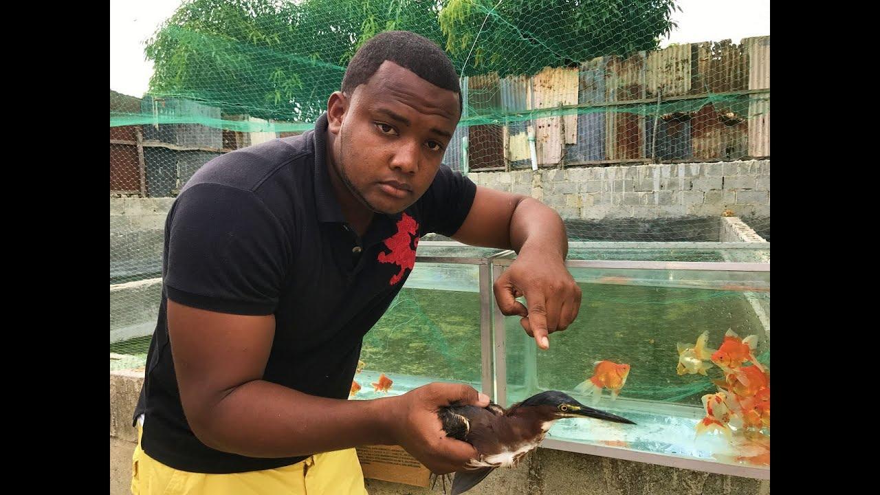 La ave mas macabra de nuestro criadero de peces youtube for Criadero de peces goldfish