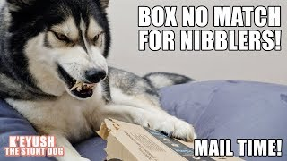 husky-battles-boxes-at-mail-time