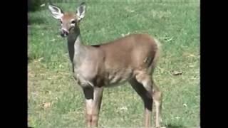 Deer Dubbing (2003)