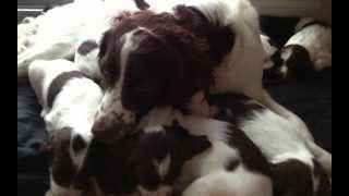 English Springer Spaniel Puppies For Sale Part 3