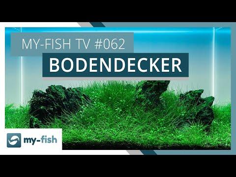Vordergrundpflanzen & Bodendecker im Aquarium halten | my-fish TV #062