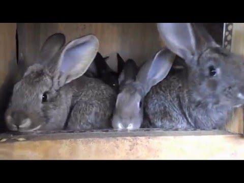 Кролиководство: почему умирают кролики, устраняем причины смерти.