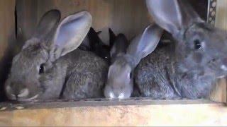 Кокцидиоз у кроликов!!! Как забыть о нем навсегда???