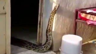 Repeat youtube video وجد ثعبان العاصر في بيته بالمنطقة الجنوبية انظر كيف شكله وماذا فعل !!