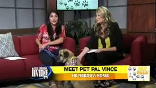 Meet Vince A Chinese Shar-pei Currently Available For Adoption At Petango.com! 8/25/2015 4:47:01 Pm