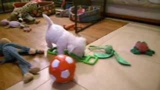 Westie Puppies West Highland White Terrier 2015 03