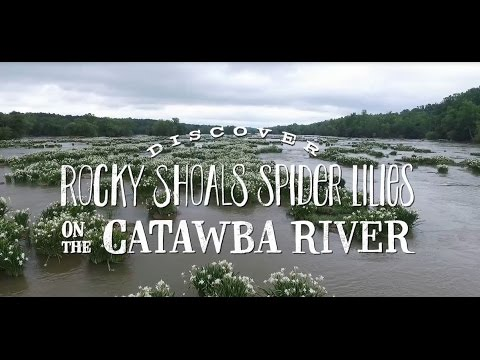 Discover Rocky Shoals Spider Lilies on the Catawba River