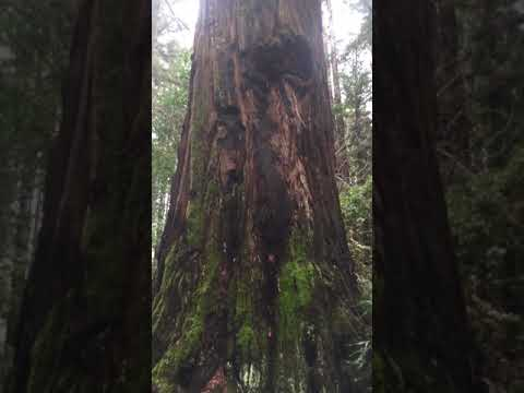Redwood Giant