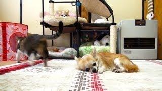眠りを邪魔する猫(おはぎ)に軽く怒ったチワワ(チーズ)です。