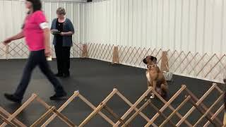 Obedience queen Boxer Fails Obedience