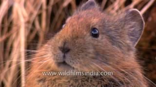 Cutest Himalayan Pika - Mouse-Hare of the Himalaya