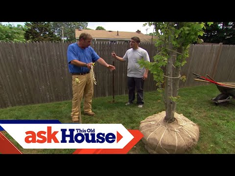 How To Plant A Large Shade Tree Ask This Old House Youtube