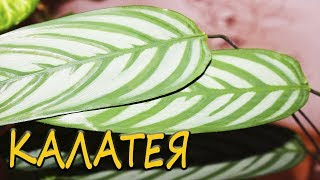 видео Комнатный цветок Калатея, уход в домашних условиях за Калатеей