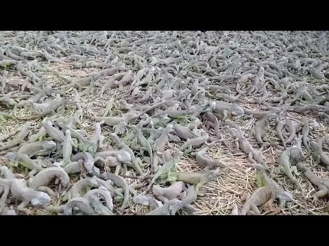 Feeding Time At Iguana Farm