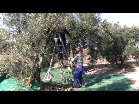 Fotos de recogida de olivas