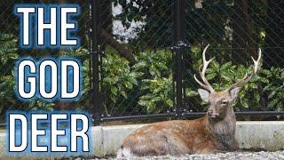 Yahiko Shrine and the God Deer