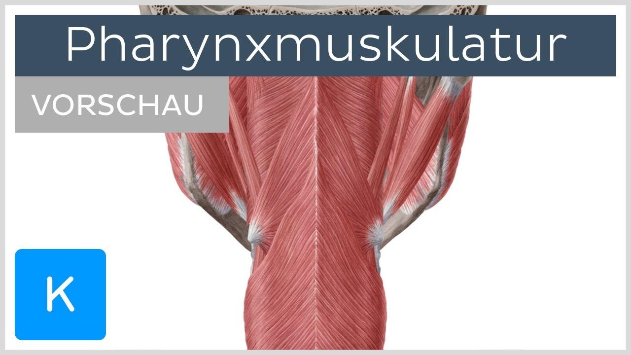 Pharynxmuskulatur: Aufbau und Funktion (Vorschau) |Kenhub
