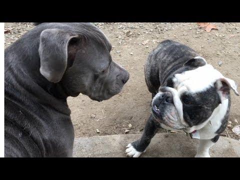 BullDogs, Mastiffs & Irish Wolfhounds at Dog Park