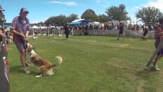2015 Australian Flyball National Championship Canberra Show - Race 51 - Dodgeda Bullets Vs 4pr Flive