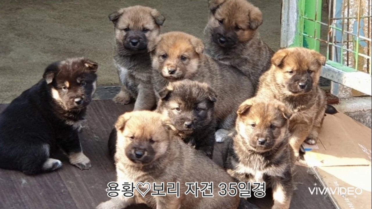 국견협회 혈통 진돗개/ 충주진돗개 이야기 : 용황♡보리 자견 근황