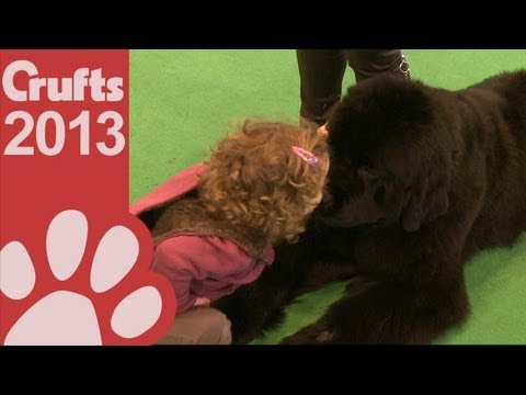 Newfoundland - Best Of Breed - Crufts 2013