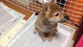 柴犬ナナチャンネル shiba dog puppy 豆柴と柴犬のハーフ「ナナちゃん」...
