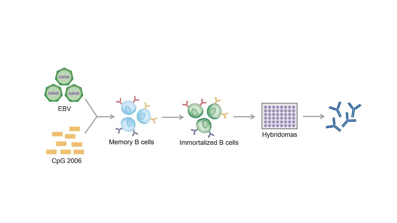 Development of Monoclonal Antibodies - Creative Biolabs ...